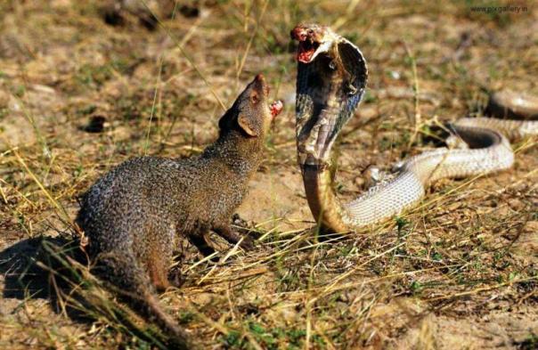 பாம்பு கீரி சண்டை-www.pixgallery.in